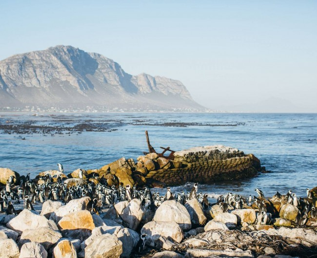 African Penguins, Betty's Bay. 2016 © Alexander Mourant